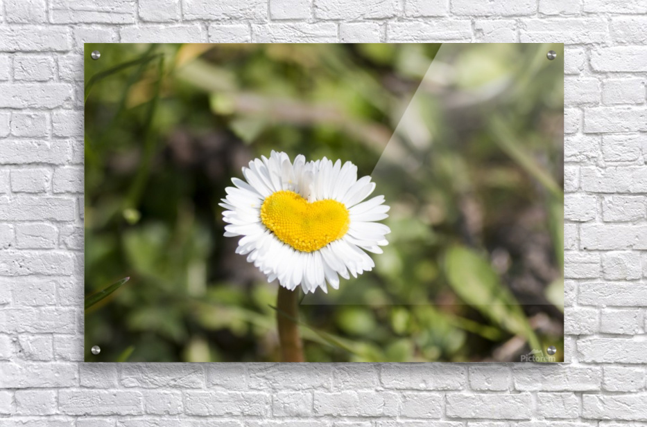 Heart shaped daisy  Acrylic Print