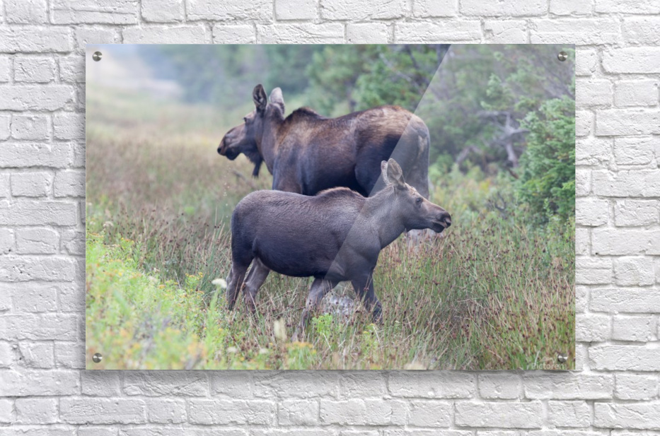 Mom and Calf Moose  Acrylic Print