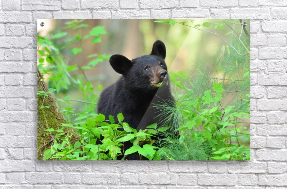 3597-Black Bear  Impression acrylique