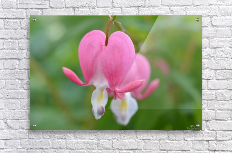 Bleeding Heart Flower Photograph  Acrylic Print