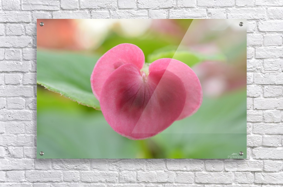 Heart Shape Pink Flower Photograph  Acrylic Print