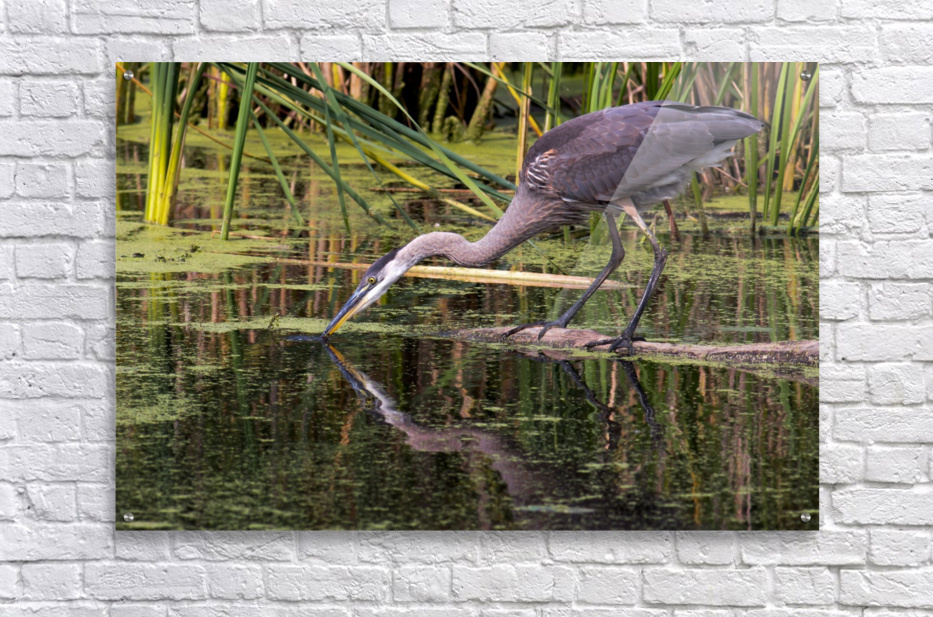 Great Blue Heron taking a Sip  Acrylic Print