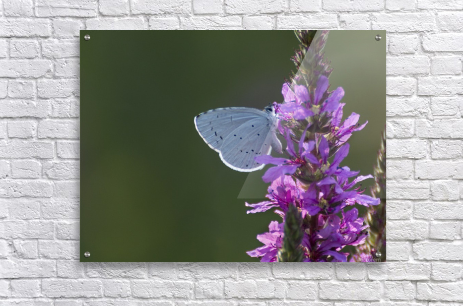 Butterfly on a flower  Acrylic Print