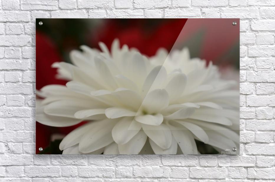 Beautiful white flower photograph katherine lindsey photography canvas acrylic print acrylic print beautiful white flower mightylinksfo