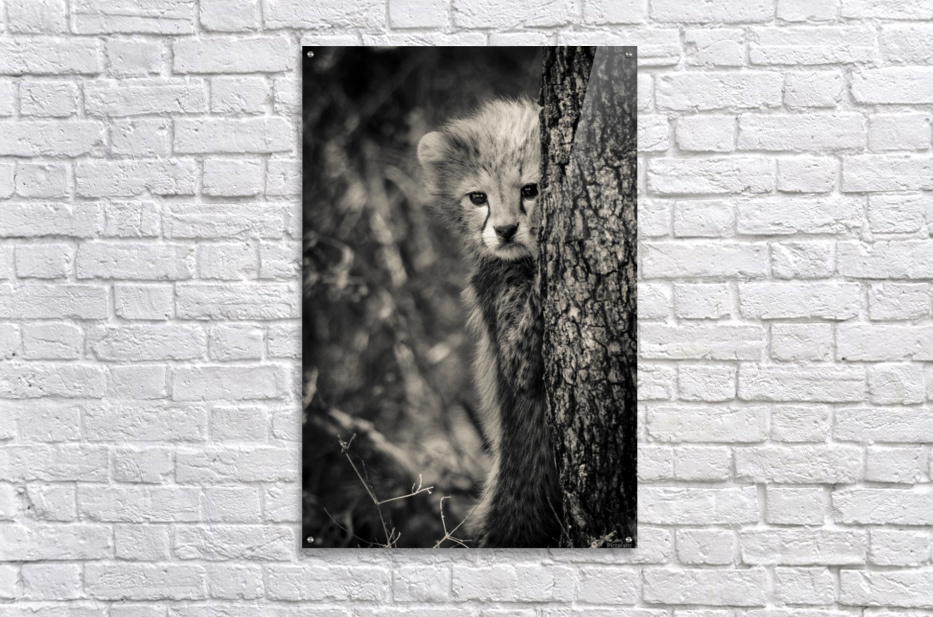 Shy but Curious  Acrylic Print