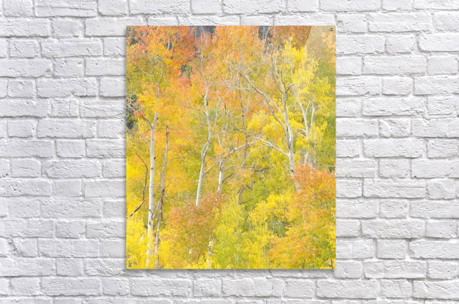 Changing Aspens - Vail Colorado  Acrylic Print
