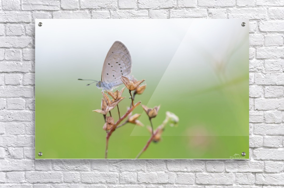 Gray butterfly perching on dried grass  Acrylic Print