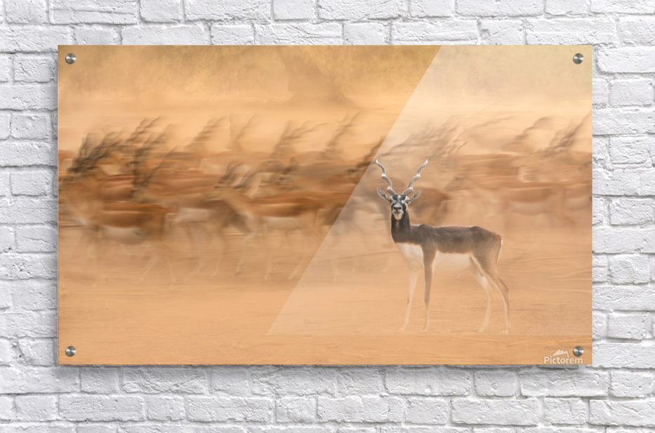 Black Bucks  Acrylic Print