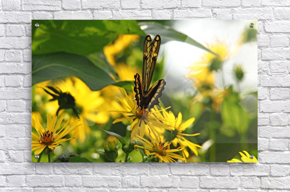 Giant Swallowtail Wings Folded  Acrylic Print