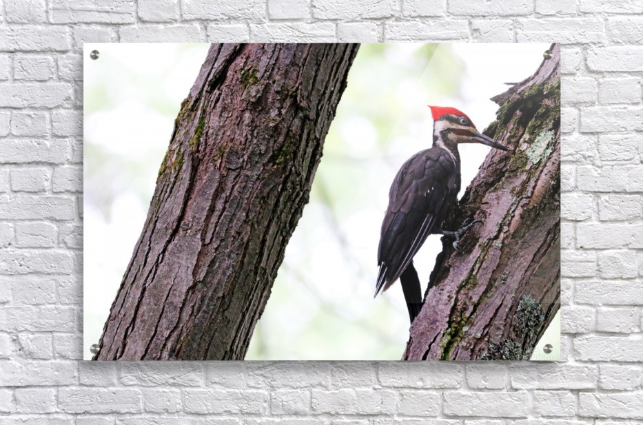Pileated Woodpecker Checking The Cracks  Acrylic Print