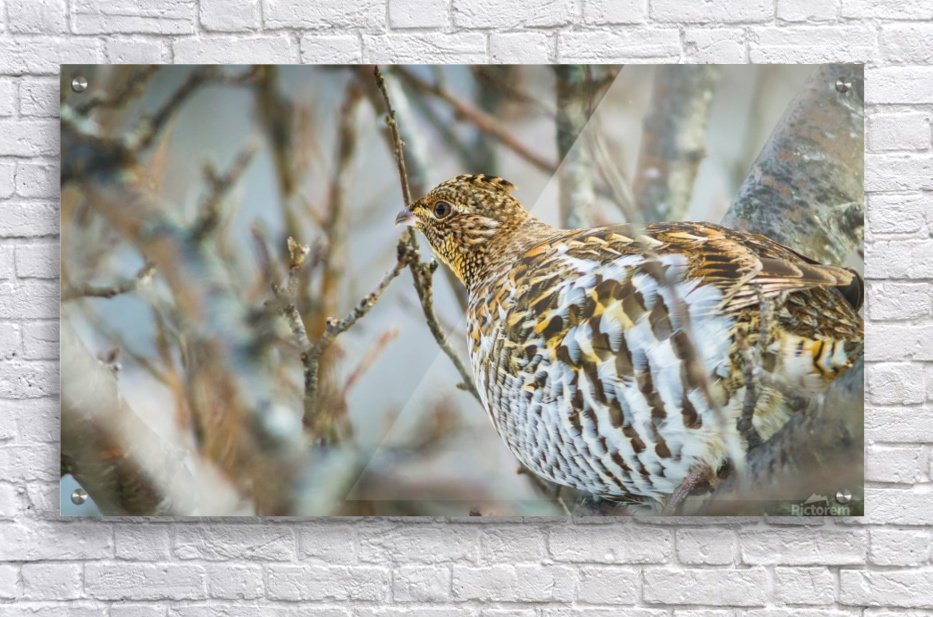 Ruffed Grouse  Acrylic Print
