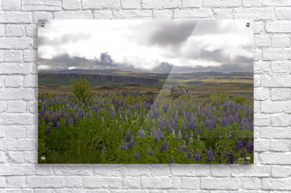 Iceland in Bloom  Acrylic Print