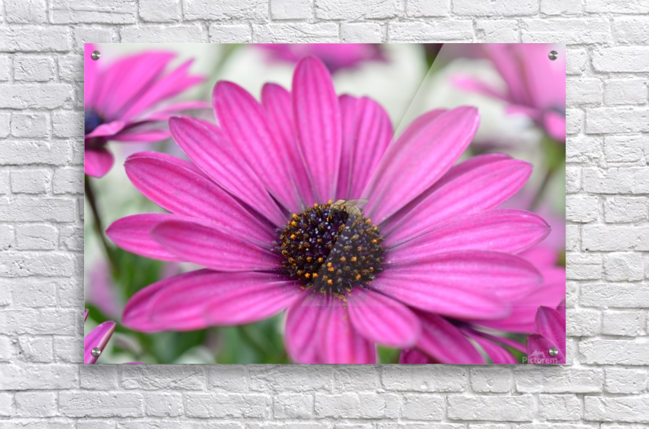 Purple Flower Photograph  Acrylic Print