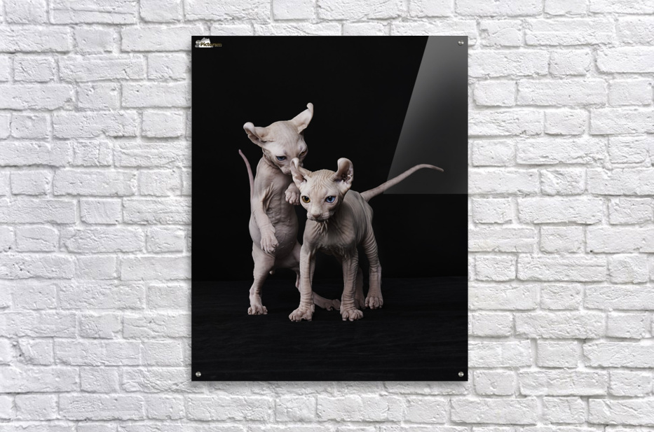 Elf Sphinx kittens  Acrylic Print