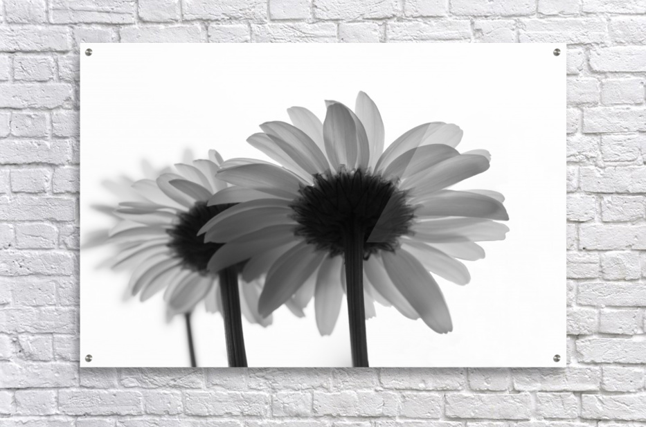 Daisies Rowing To The Left BW  Acrylic Print