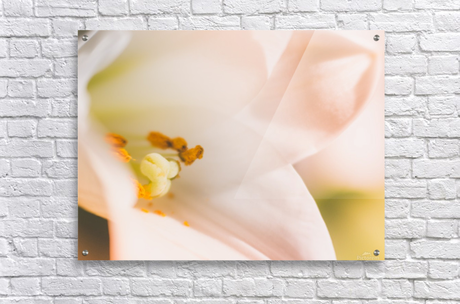 Easter Lily - Lilium Longiflorum - Flower Lily - Yellow White Close-Up Macro  Acrylic Print