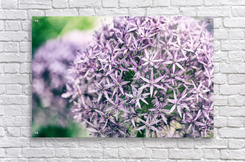 Allium in Bloom  Acrylic Print