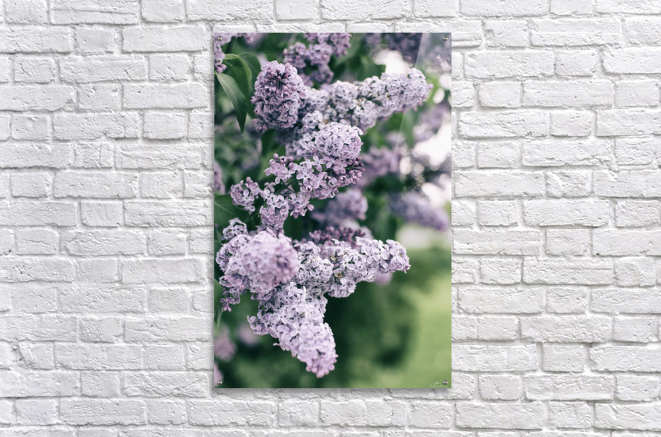Lilacs in Spring  Acrylic Print