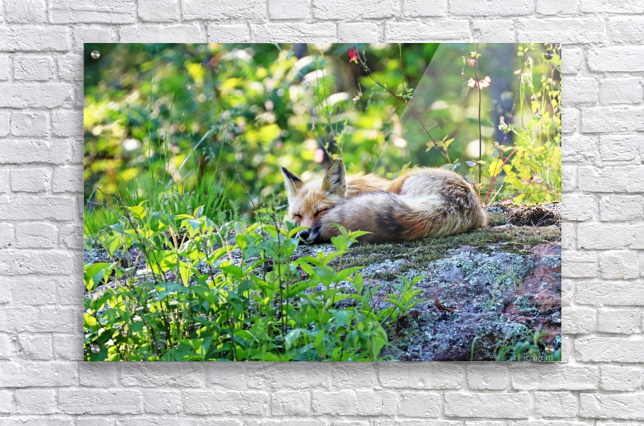 Nap Time For Red Fox I  Acrylic Print