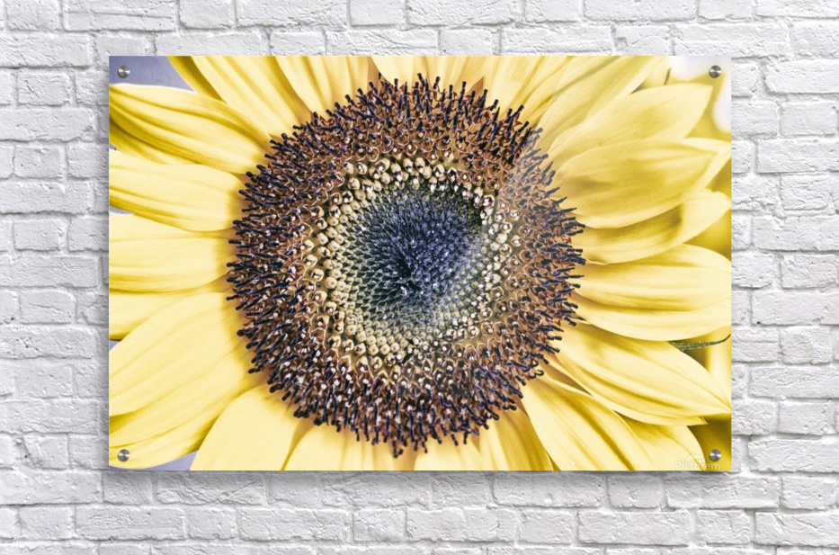 Sunflower Close Up  Acrylic Print
