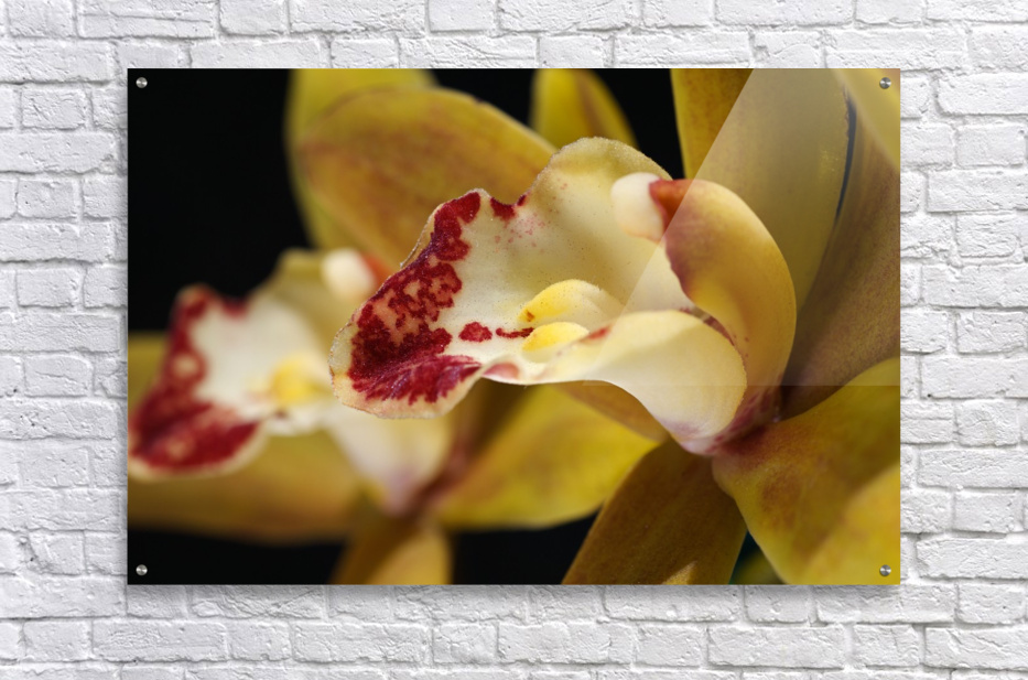 Green and Red Orchid  Acrylic Print