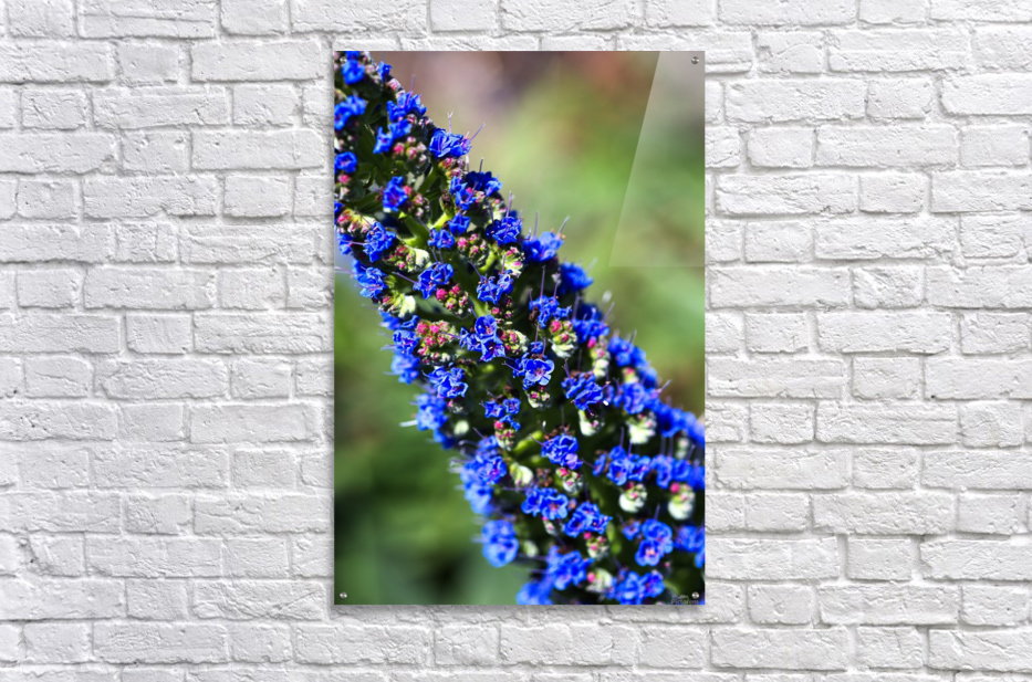 Veronica Flower Of  Spring  Acrylic Print