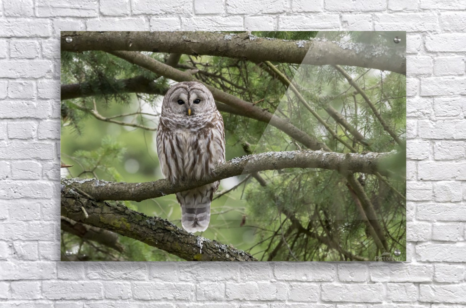 Barred Owl - Eye Contact  Acrylic Print