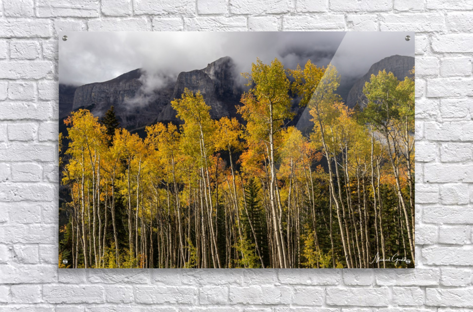 Aspens In Fall Banff National Park  Acrylic Print
