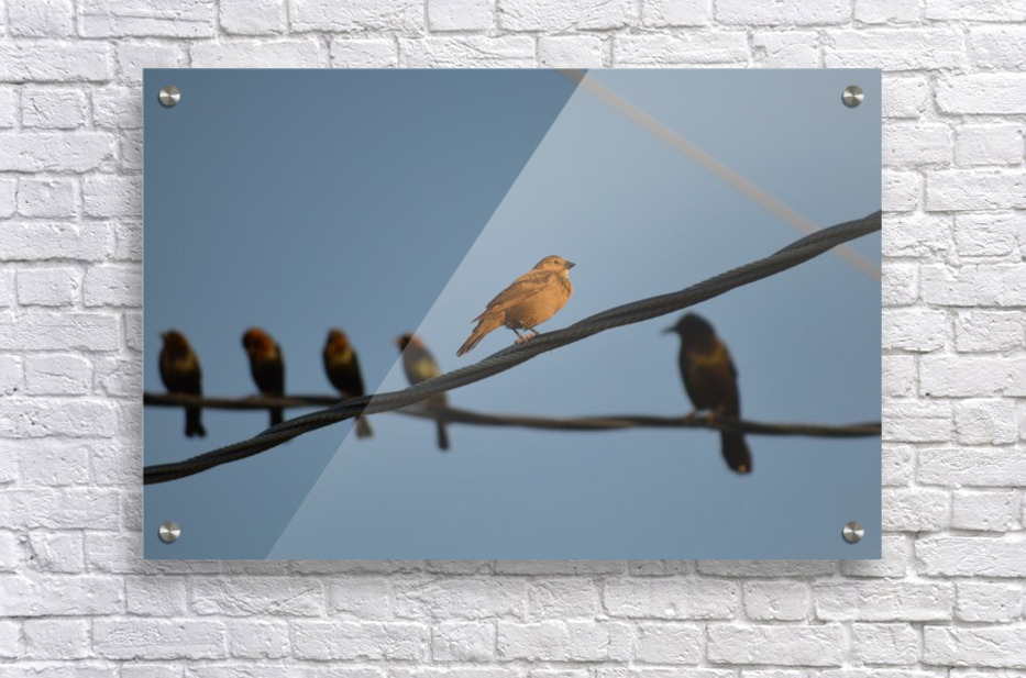 Birds on the Wires  Acrylic Print