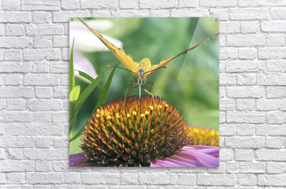 Butterfly on cone flower  Acrylic Print