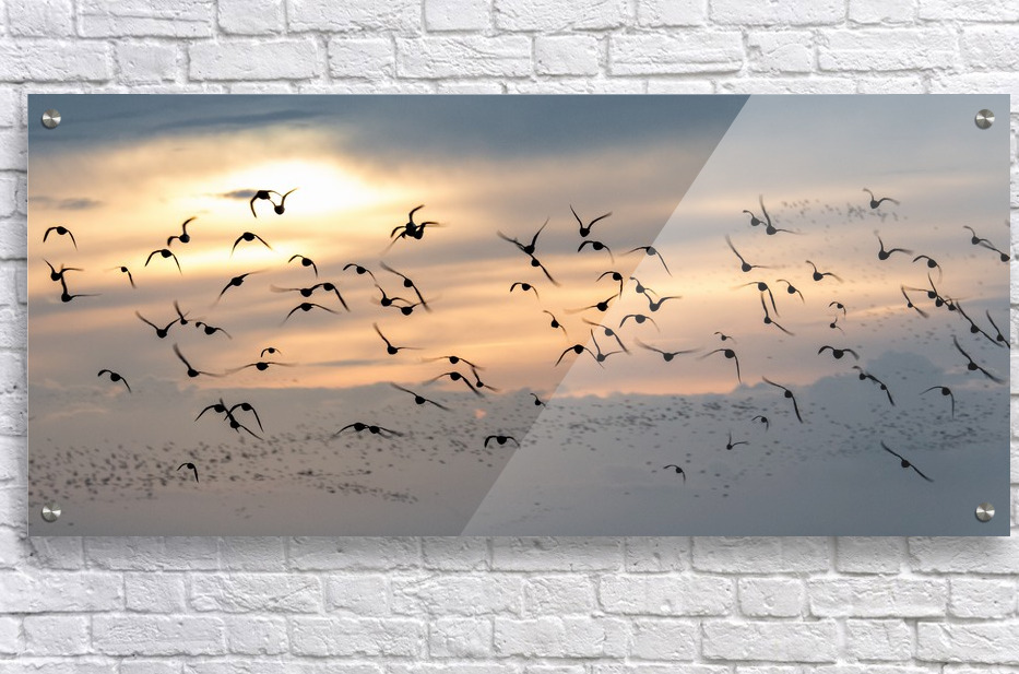 Coming home to roost  Acrylic Print