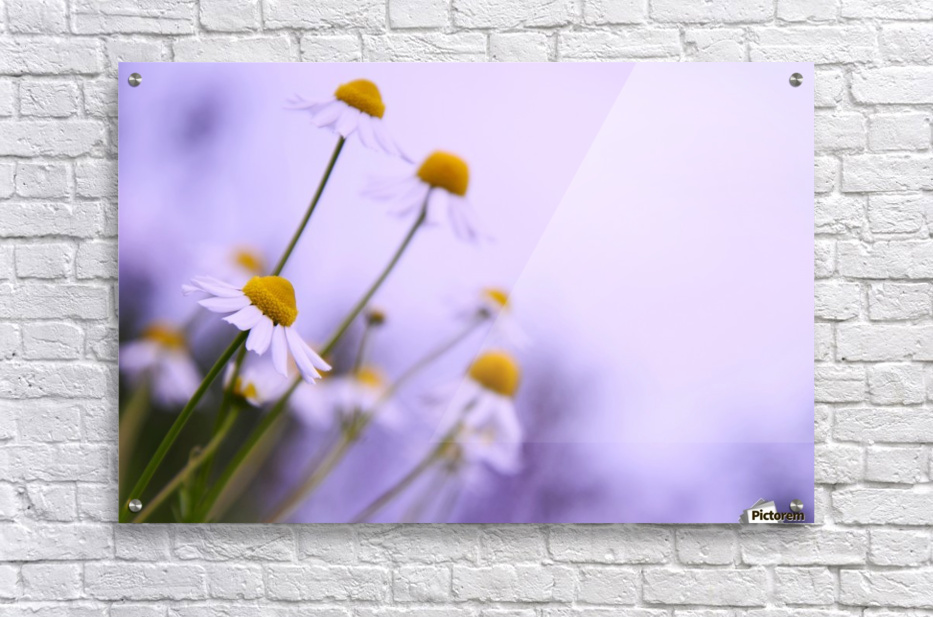 Chamomile in spring  Acrylic Print