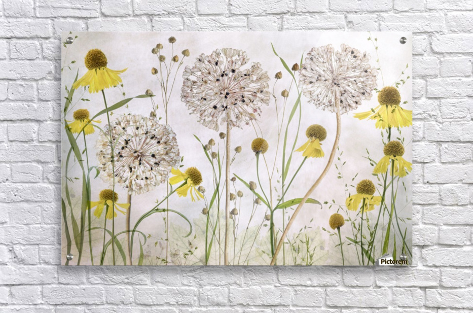 Alliums and heleniums  Acrylic Print