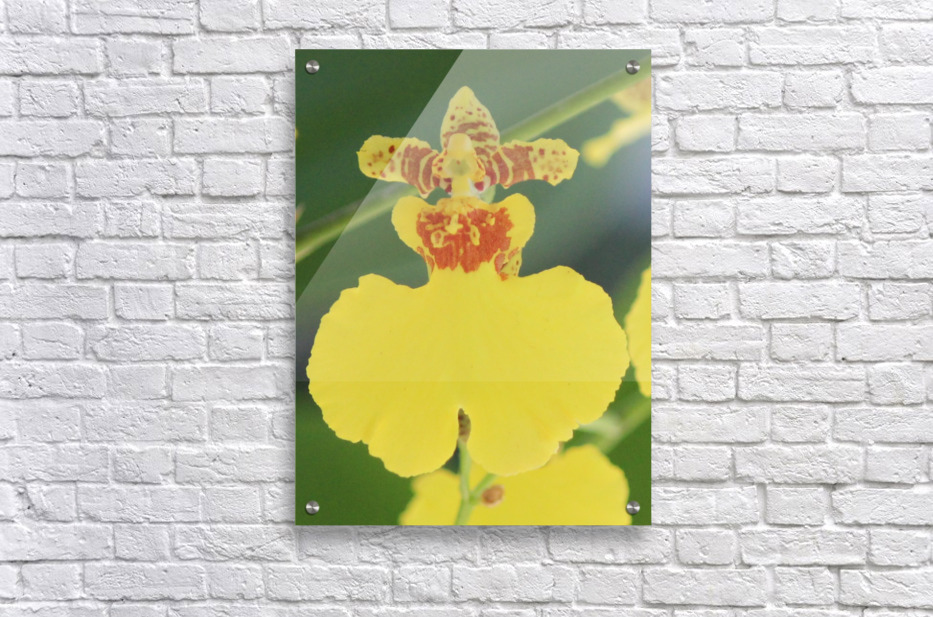 orchid3  Acrylic Print