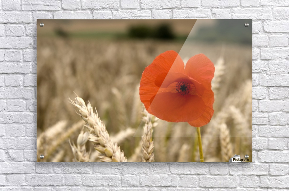 Red Flower In Field  Acrylic Print