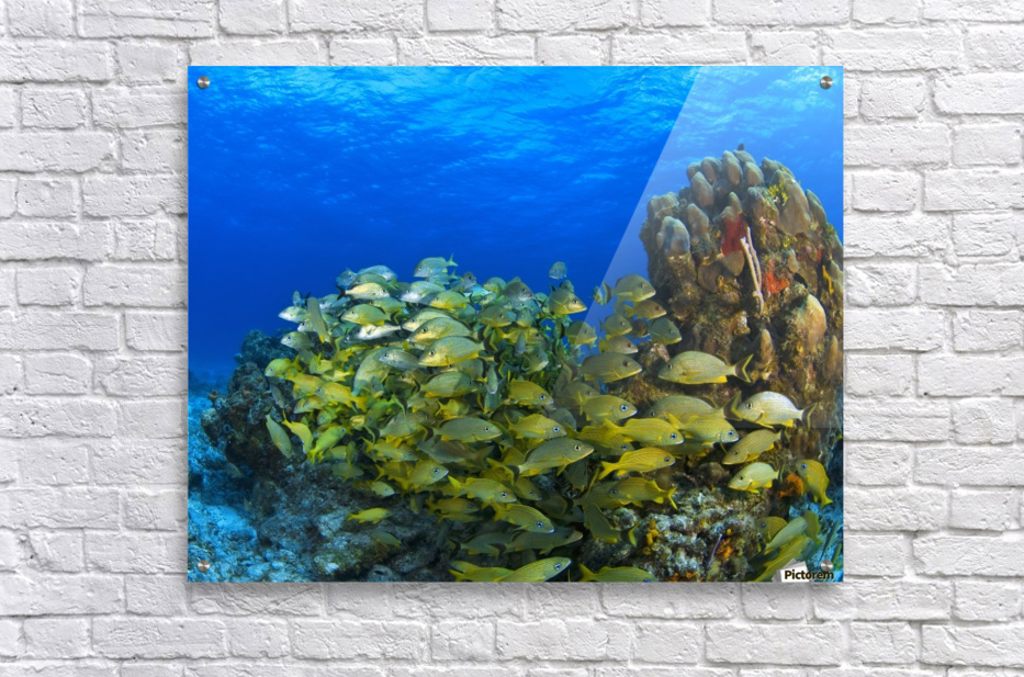 Schooling Fish On Coral Reef Cozumel Mexico Acrylic Print