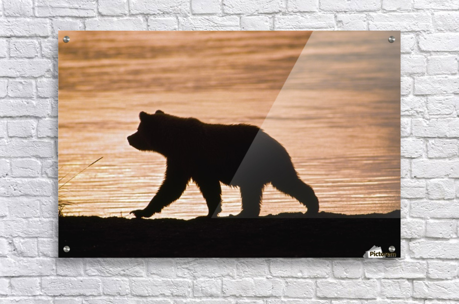 Young Grizzly Bear (Ursus Arctos) Walks Along Edge Of Lake At Sunset  Acrylic Print