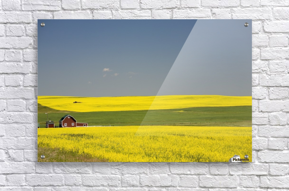 Flowering Canola Fields And A Red Barn; Alberta, Canada  Acrylic Print