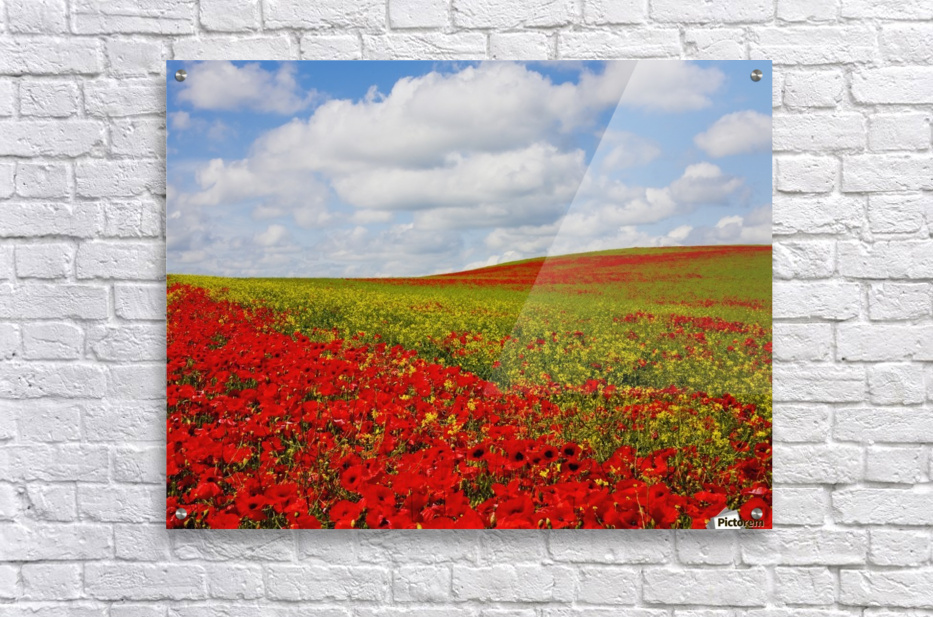 An Abundance Of Red Poppies In A Field; Corbridge, Northumberland, England  Acrylic Print