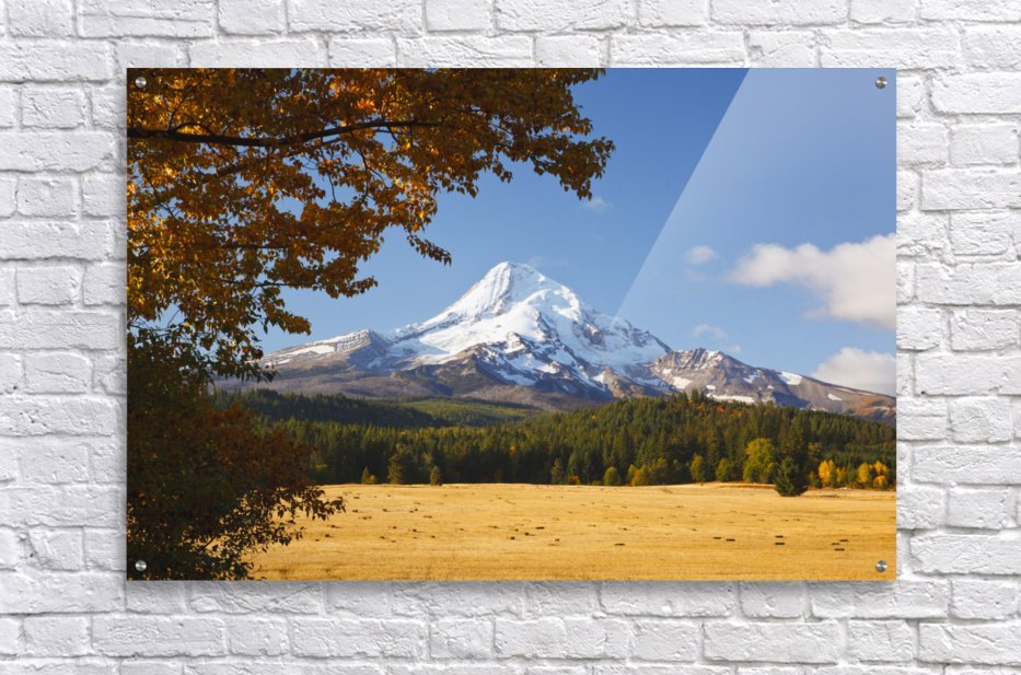 Mount Hood And Autumn Colours In Hood River Valley; Oregon, United States of America  Acrylic Print