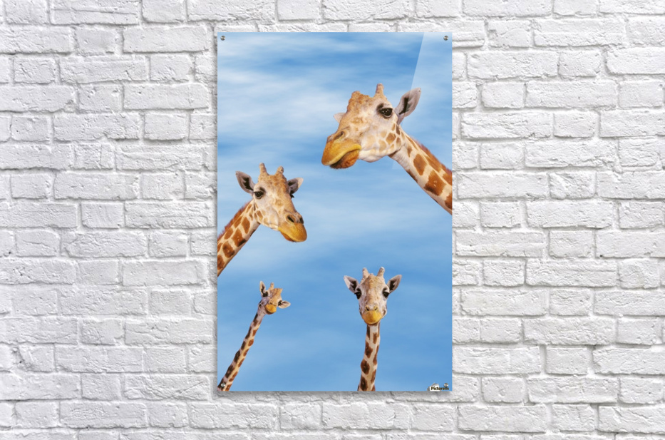Four giraffes looking downward;Africa  Acrylic Print