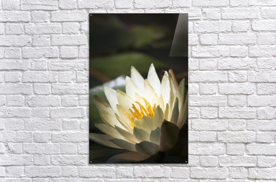 Water lily blooms in a pond; Astoria, Oregon, United States of America  Acrylic Print