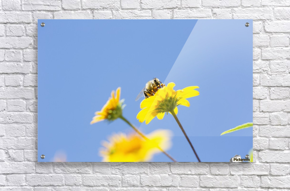A bee is busy pollenating flowers as it goes about it's job collecting pollen; Bolivia  Acrylic Print