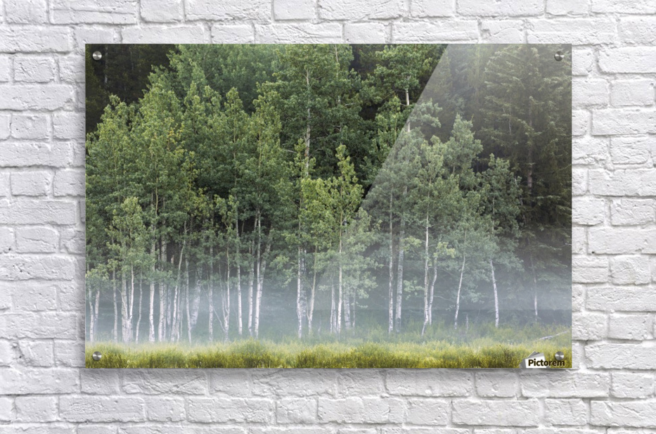 Fog covering a row of aspen trees in the early morning; Kananaskis Country, Alberta, Canada  Acrylic Print