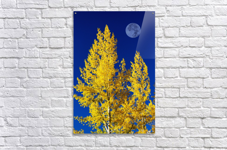 Bright, colourful aspen trees in autumn with large full moon and ...