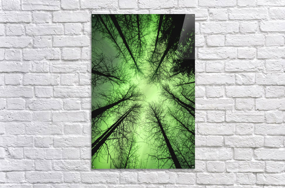 The aurora borealis glows overhead in a spruce forest in Portage Valley, Chugach National Forest, Southcentral Alaska.  Acrylic Print