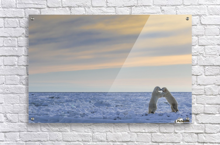 Polar bears (ursus maritimus) sparring on the coast of Hudson Bay; Manitoba, Canada  Acrylic Print