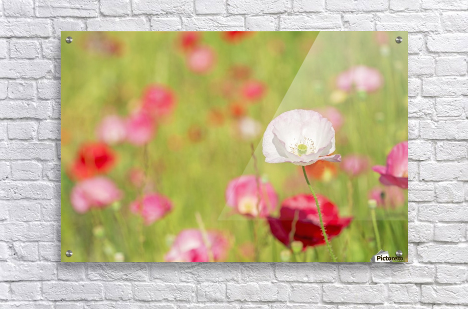 Poppies in a meadow; Burnaby, British Columbia, Canada  Acrylic Print