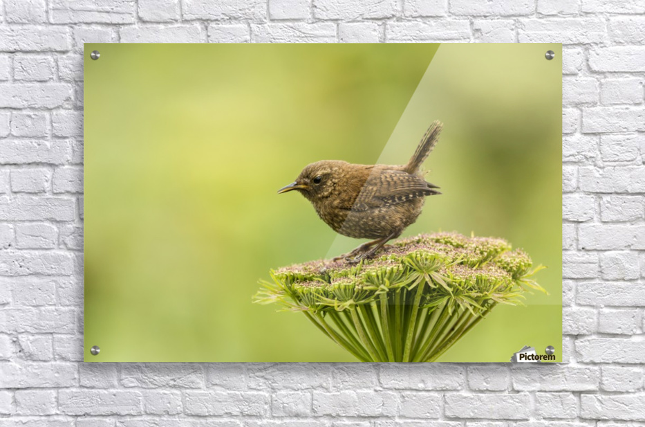 Pacific wren (Troglodytes pacificus) perched on wild celery on St. Paul Island in Southwest Alaska; St. Paul Island, Pribilof Islands, Alaska, United States of America  Acrylic Print