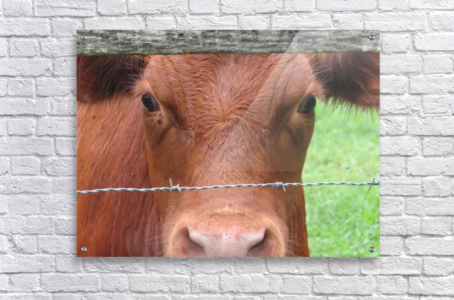Cow in Stevenson, MD VP 2  Acrylic Print
